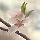 Peach Blossom by Hilary Walker
