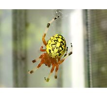Marbled Orbweaver Photographic Print