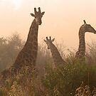 Giraffe in the misted sunrise by jozi1
