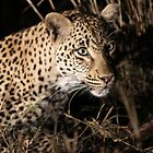 Leopard(kikilezi) on the hunt by jozi1