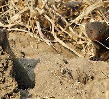 Dwarf mongoose on termite mound by jozi1