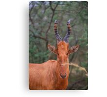 Why the Long Face? - Hartebeest Canvas Print