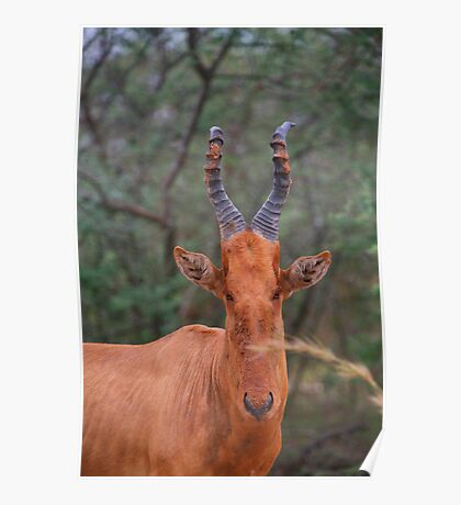 Why the Long Face? - Hartebeest Poster