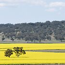 Canola 'Yallambee' Coolah NSW by Julie Sherlock