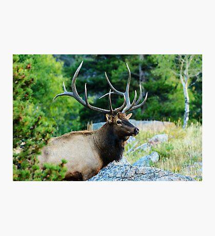 Bull Elk Photographic Print