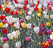 tulips all colours by alanball