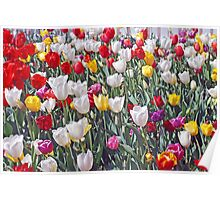 tulips all colours Poster