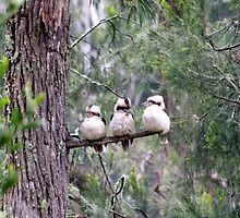 Three wise kookaburras by Lanii  Douglas