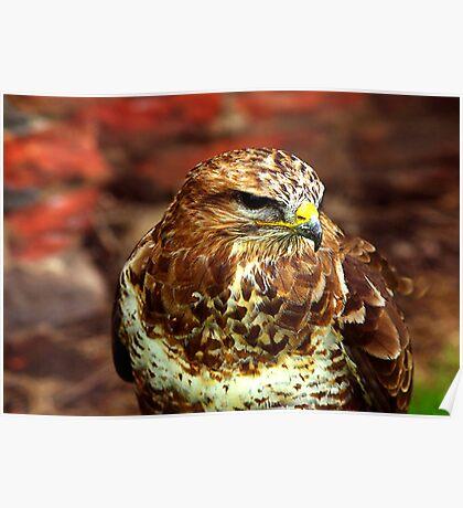 Buzzard (Buteo Buteo) - Bird of Prey Poster