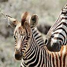 LOVE ME - BURCHELL'S ZEBRA – Equus burchelli – Bontkwagga by Magriet Meintjes