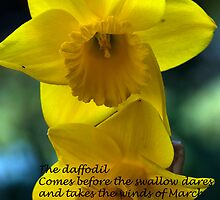 """Daffodil """"Arctic Gold"""" by SherbrookePhoto"""