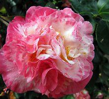 Camellia - Japonica 'Arajishi Variegated' by jules572