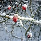 Snowberries by wombat37