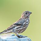 Female House Finch in Bird Bath by Bonnie T.  Barry