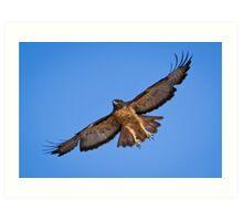 Red Tailed Hawk Art Print