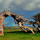Leaning Tree Rainbow of Greenough WA 2 by Miles Moody