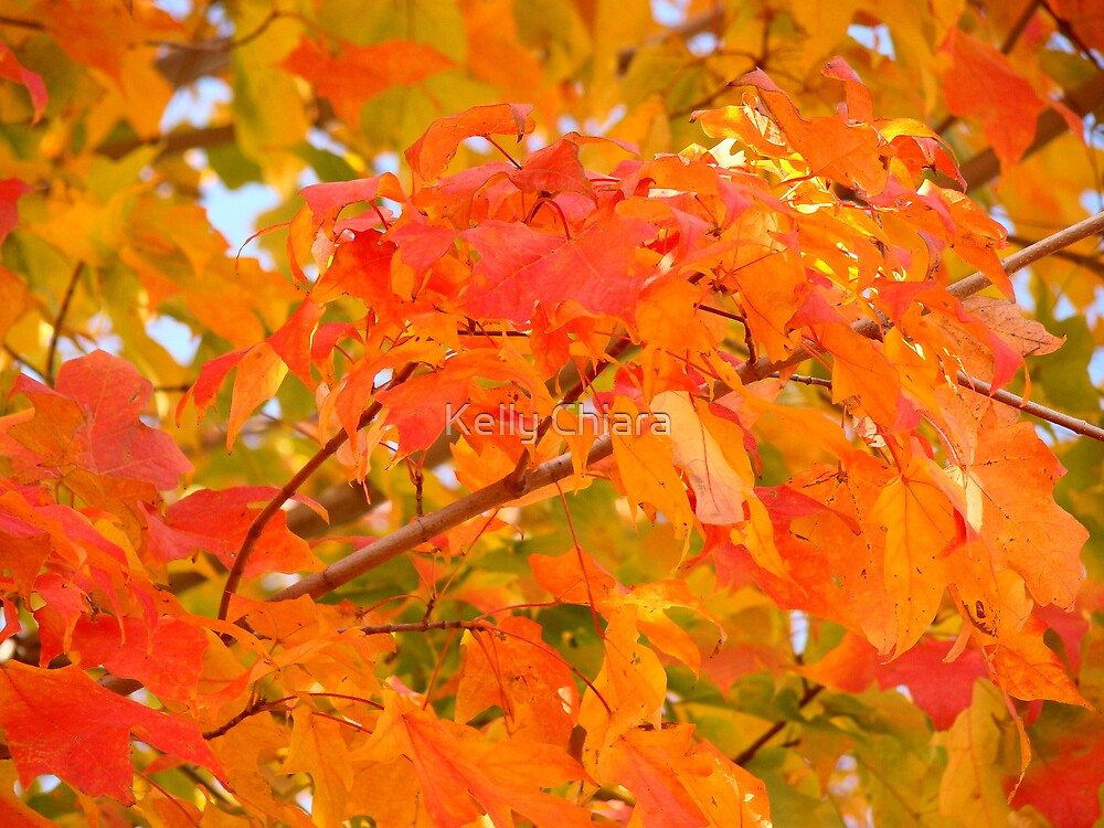 Flaming Maple Leaves by Kelly Chiara