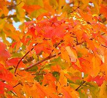 Flaming Maple Leaves by reindeer