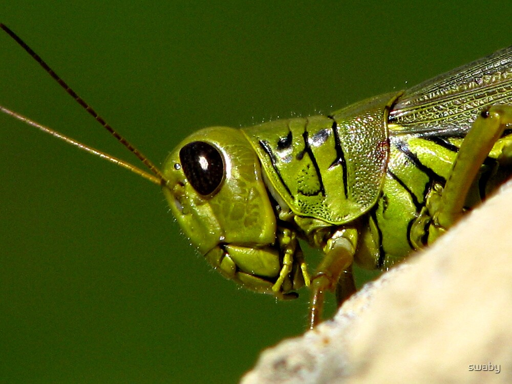 Portrait Of A Grasshopper by swaby