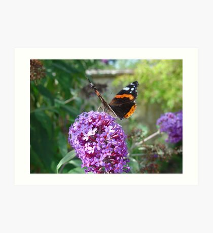 Admiral Butterfly on Buddleia Flowers Art Print