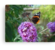 Admiral Butterfly on Buddleia Flowers Canvas Print