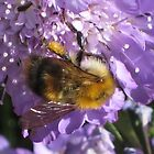 Bee on a Scabious Flower by aneyefornature