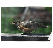 Ready, Set, ......Fly ~ Robin Fledgling Poster