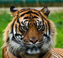 Nias Male Bengal Tiger by Elaine123
