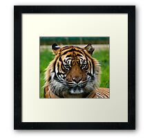 Nias Male Bengal Tiger Framed Print