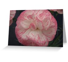 Pink and White Carnation Flower Greeting Card