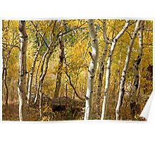 Fall Aspens - Rocky Mountain National Park, CO Poster