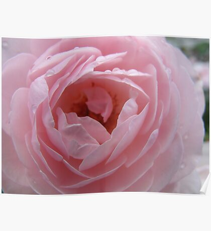 Sprinkled Rose Delight Poster