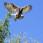 Great Horned Owl ~ Sherry's Juvenile by Kimberly Chadwick