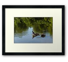 Guarding My Sleeping Family - a Mother Duck and Ducklings on the Pond Framed Print