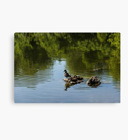 Guarding My Sleeping Family - a Mother Duck and Ducklings on the Pond Canvas Print