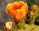 Prickly Pear Flowers by Antionette