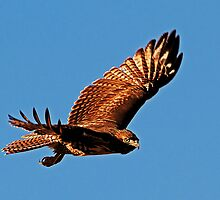 092610 Red Tailed Hawk by Marvin Collins