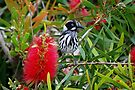 Yellow Top - New Holland Honeyeater by Ian Berry