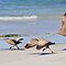 Take off - Cape Barron Geese by Ian Berry