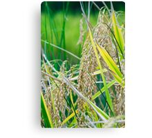 rice close up Canvas Print