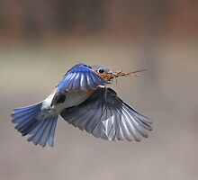 """Eastern Bluebird Hard At Work"" by Jim Davis"