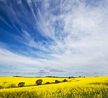 Canola Fields 2 by KathyT
