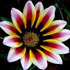 Garden Pleasures - Gazania by Mariaan Maritz Krog Photos & Digital Art