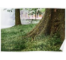 Tree Trunks in Spring Poster