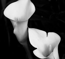 Calla Lily In Black and White by John Honeyman