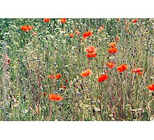 Red Poppies In A Summer Sun Photographic Print