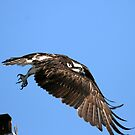 Osprey Wings Forward by DARRIN ALDRIDGE