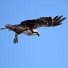 Osprey In Flight by DARRIN ALDRIDGE