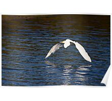 Egret Skimming the Water Poster