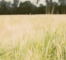 Wheat Field Closeup by PatiDesigns